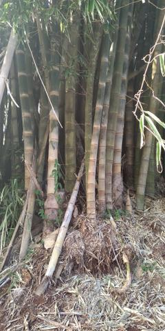 Bambu gigante - Foto 2
