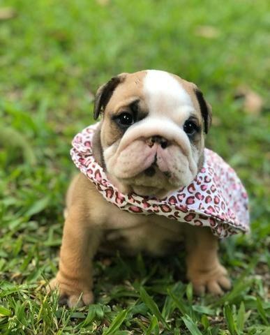 Bulldog Inglês linhagem pura - filhotes de 45 a 60 dias disponíveis 119727-277-78 - Foto 2