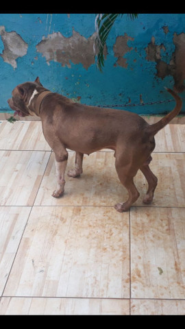 Vende se pitbull macho - Foto 2