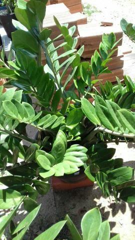 Vendo plantas Zamioculcas zamiifoli