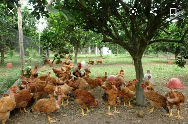 Vende se frango caipira r$ 30,00