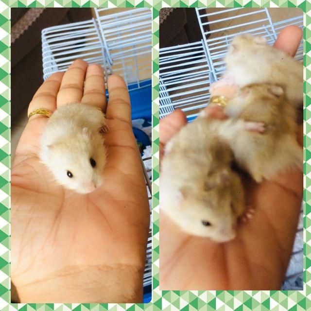 Hamster anão 35,00 cada