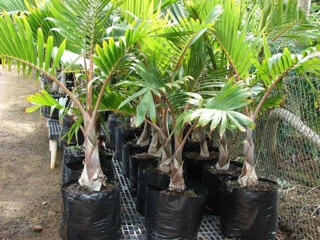 Palmeira garrafa venda urgente - Foto 4