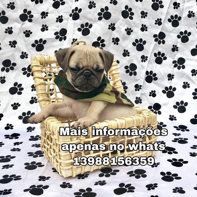 Pug Filhotes Lindos Chame no whats  - Foto 2