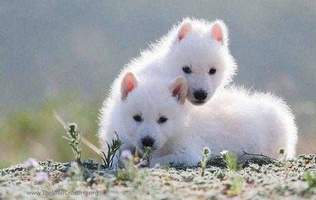 Husky siberiano filhotes disponíveis com garantias - Foto 5