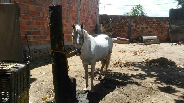 Cavalo russo vendo 7 anos