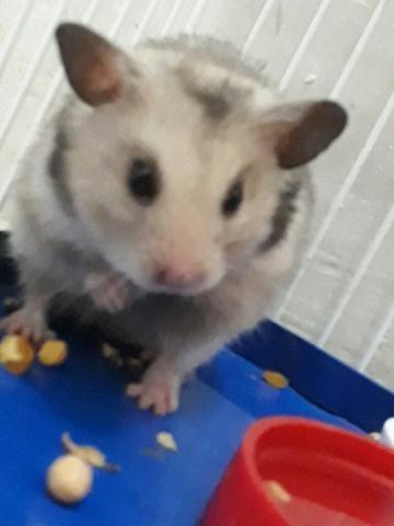 Doa-se um casal de hamsters!