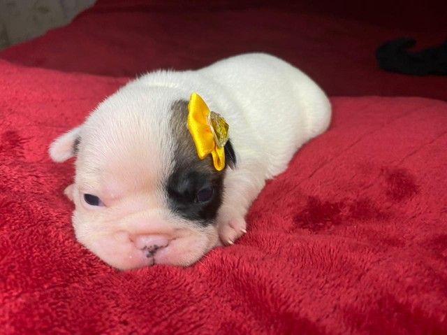 Bulldog Frances Filhotes Lindos Chame no whats  - Foto 3