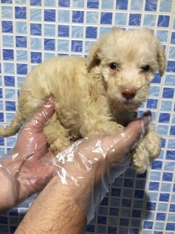 Os mais lindos filhotinhos de Poodle disponíveis em loja, consulte *Lucas - Foto 3