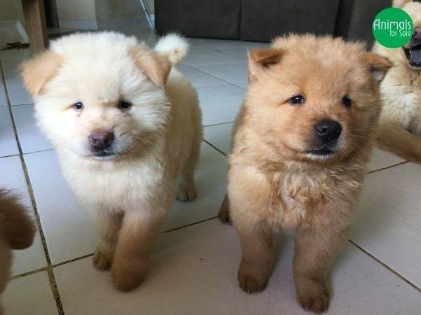 Chow Chow lindos filhotes com garantias inclusas temos outras raças - Foto 2