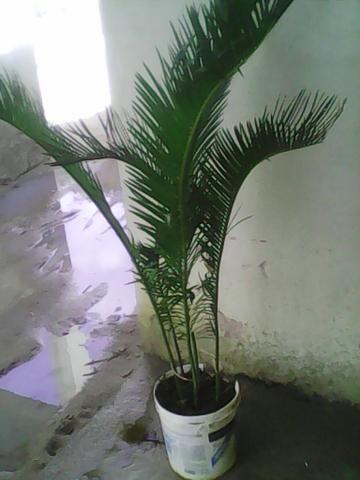 Vende se essa palmeira cipa