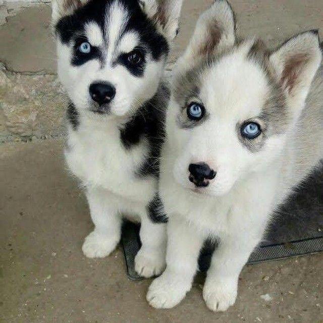 Husky siberiano filhotes disponíveis com garantias - Foto 6