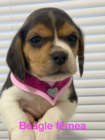 Beagle fofíssima