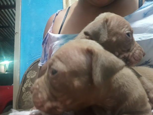 Pitbull red nose filhote - Foto 2