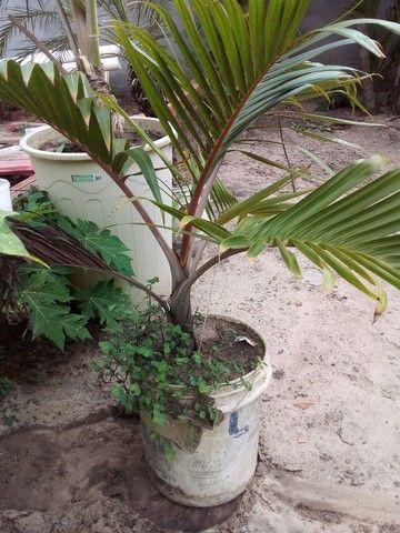 Palmeira garrafa venda urgente - Foto 2