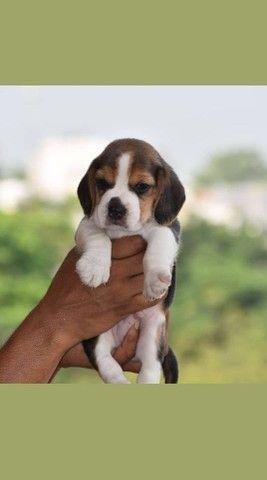 Beagle tricolor, excelentes filhotes!