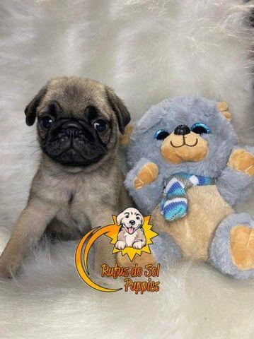 Belos Filhotes de Pug - Foto 3