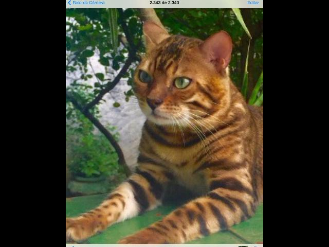 Filhote de Bengal na cor Brown spotted tabby