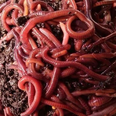Minhocas californianas vermelhas compostagem