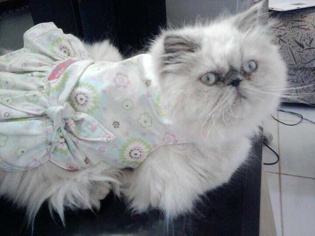 Filhote de gato PERSA HIMALAIA PURO - Foto 5