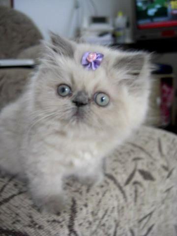 Filhote de gato PERSA HIMALAIA PURO - Foto 2