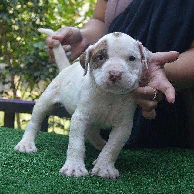 Adoráveis filhotes de Pitbull - Foto 2