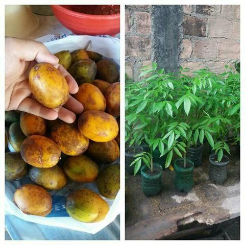 Mudas cajamanga anã