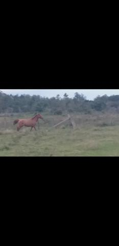 Égua domada tem oito anos