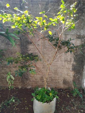 Jabuticaba com flor - Foto 2