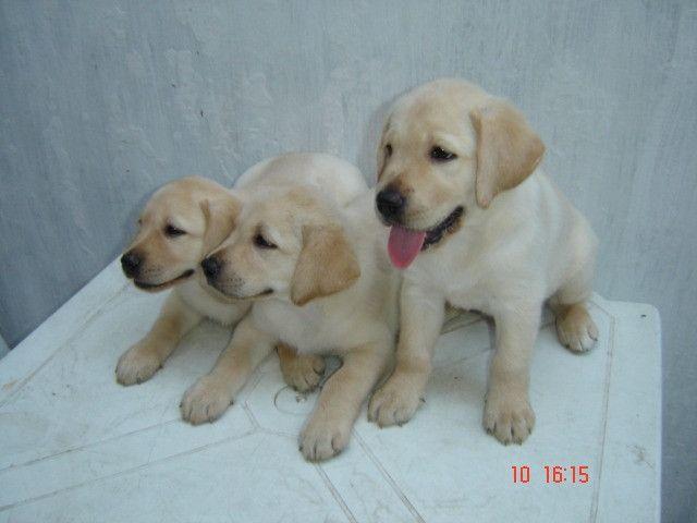 Labrador Macho 2 meses