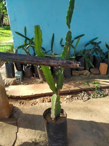 Mudas de Pitaya vermelha  - Foto 2
