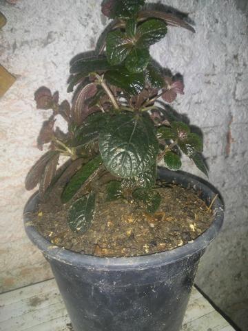 Plantas ornamental e medicinal - Foto 5