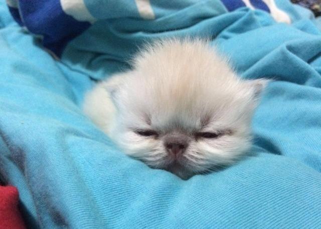 Filhote de gato PERSA HIMALAIA PURO - Foto 3