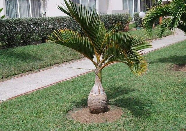 Palmeira garrafa venda urgente - Foto 3