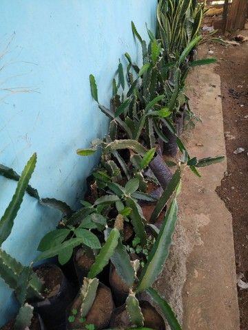 Mudas de Pitaya vermelha