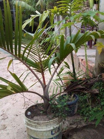 Palmeira garrafa venda urgente
