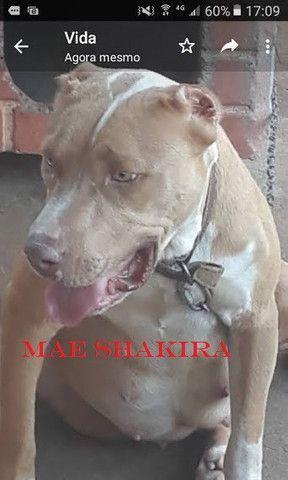Pitbull red nose filhote - Foto 4