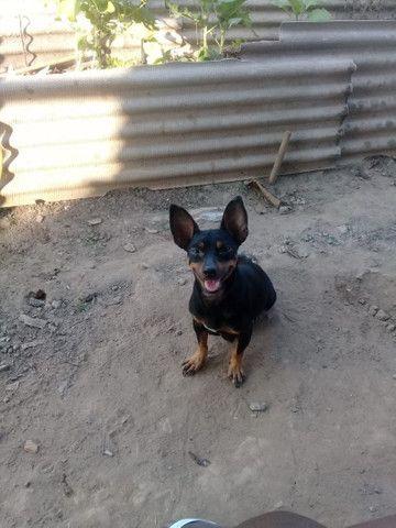 Cachorro pinscher número 2 - Foto 2