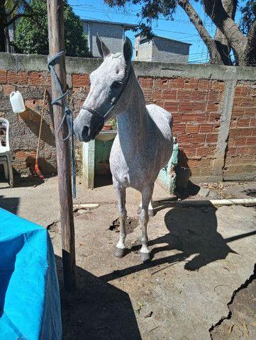 Égua M.Marchador  - Foto 3