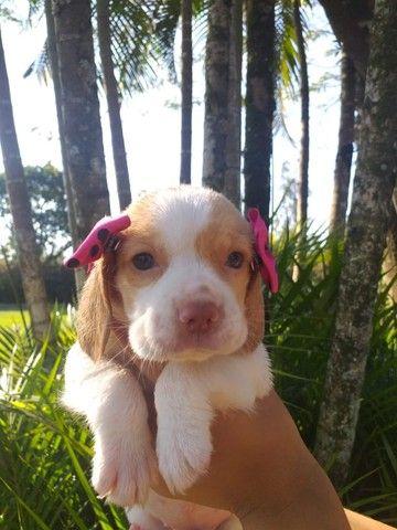 Beagle Filhotes a pronta entrega!!!! - Foto 3