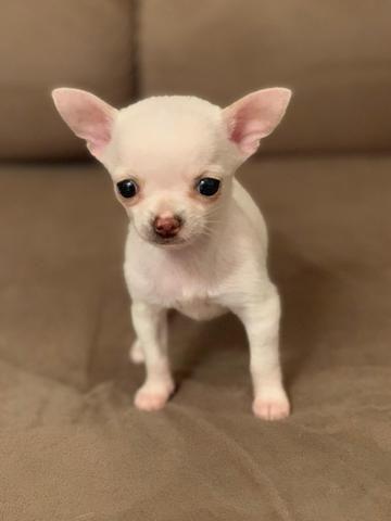 Chihuahua os mais perfeitos Cores raras Whats 054999346363