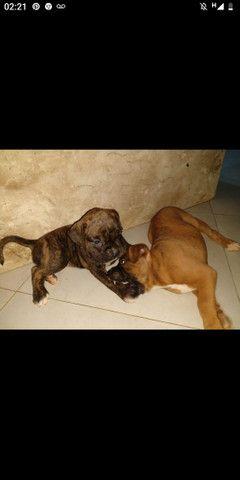 Filhote de cachorro, raça Boxer - Foto 3