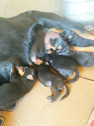 Rottweiler com pedigree - Foto 5