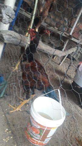 Vendo potinho da raça indo gigante sangue corvo sumô dois meses - Foto 5