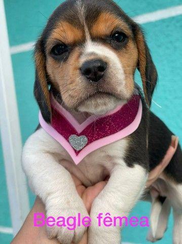 Beagle encantadora