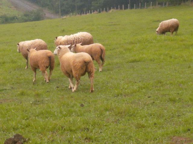Ovelha Macho Burrego Texel - Foto 2