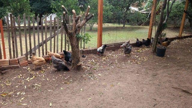 vendo galo, e galinhas caipiras e de raça - Foto 3