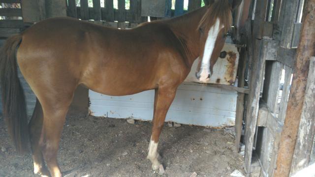 V/t dois cavalos mestiços de manga larga por outro leia a descrição