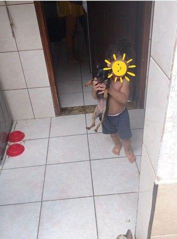FILHOTES DE PINSCHER 00 ( anão) PARA RESERVA!! - Foto 2