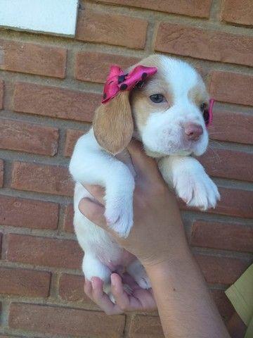Beagle Filhotes a pronta entrega!!!! - Foto 2